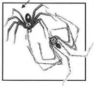 Araña Parda (del Rincón)